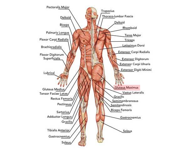 muskler i overkroppen
